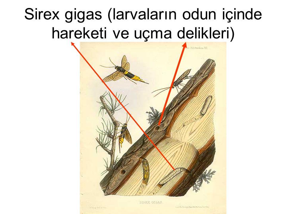 Sirex gigas (larvaların odun içinde hareketi ve uçma delikleri)