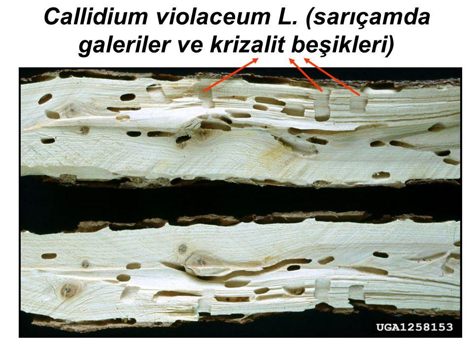 Callidium violaceum L. (sarıçamda galeriler ve krizalit beşikleri)