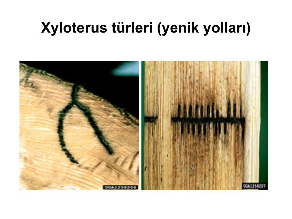 Xyloterus türleri (yenik yolları)