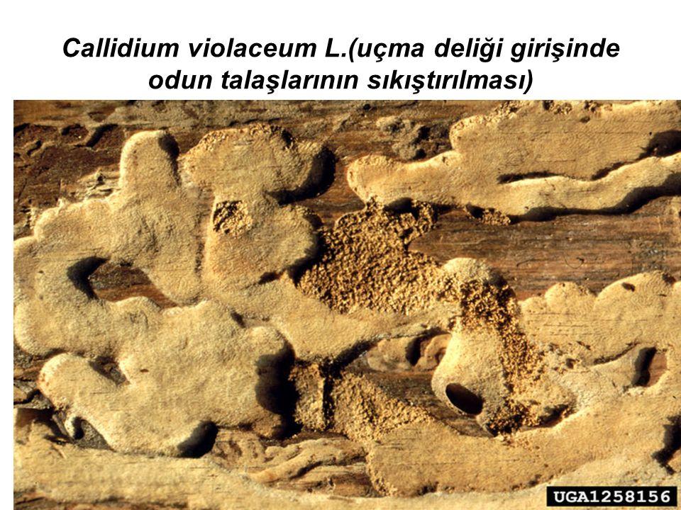 Callidium violaceum L.(uçma deliği girişinde odun talaşlarının sıkıştırılması)