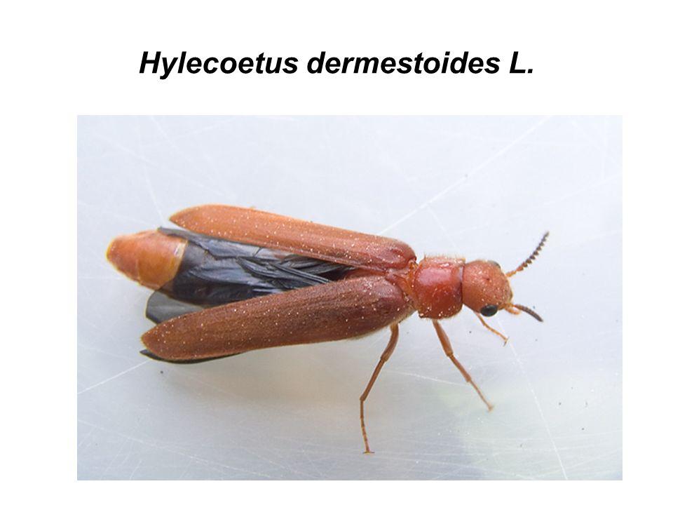 Hylecoetus dermestoides L.