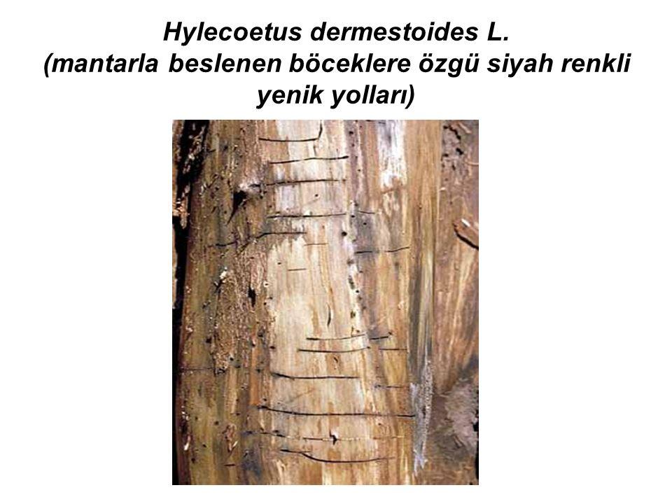 Hylecoetus dermestoides L