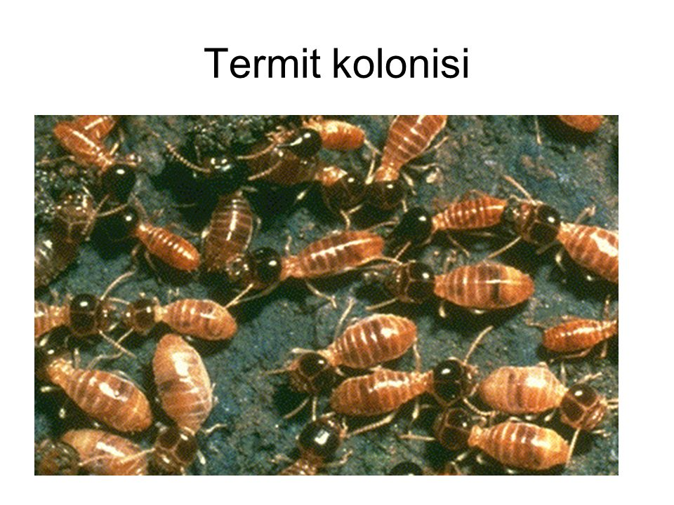 Termit kolonisi