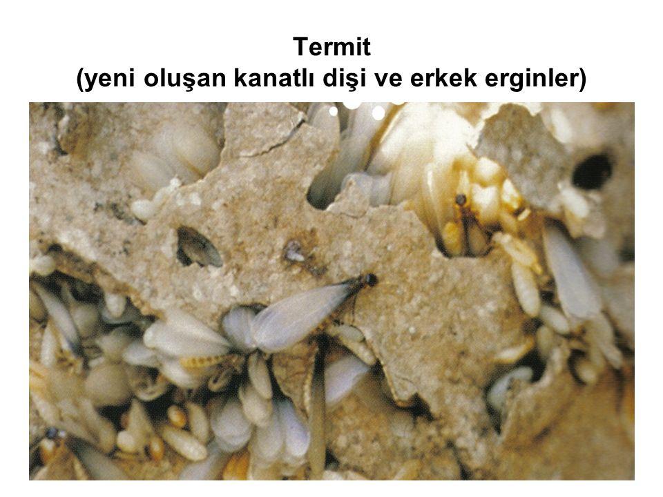 Termit (yeni oluşan kanatlı dişi ve erkek erginler)