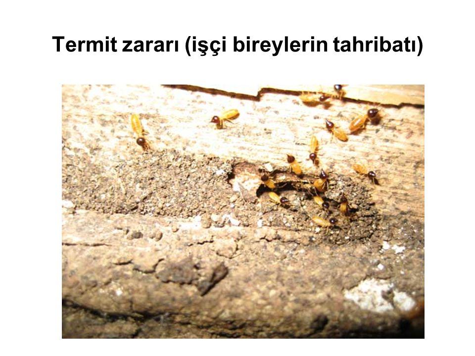 Termit zararı (işçi bireylerin tahribatı)