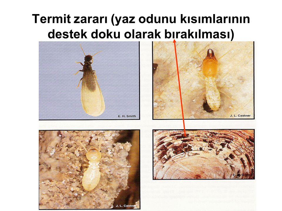 Termit zararı (yaz odunu kısımlarının destek doku olarak bırakılması)
