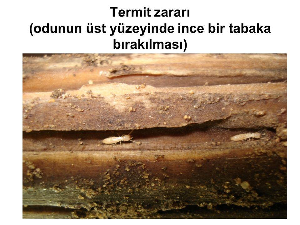 Termit zararı (odunun üst yüzeyinde ince bir tabaka bırakılması)