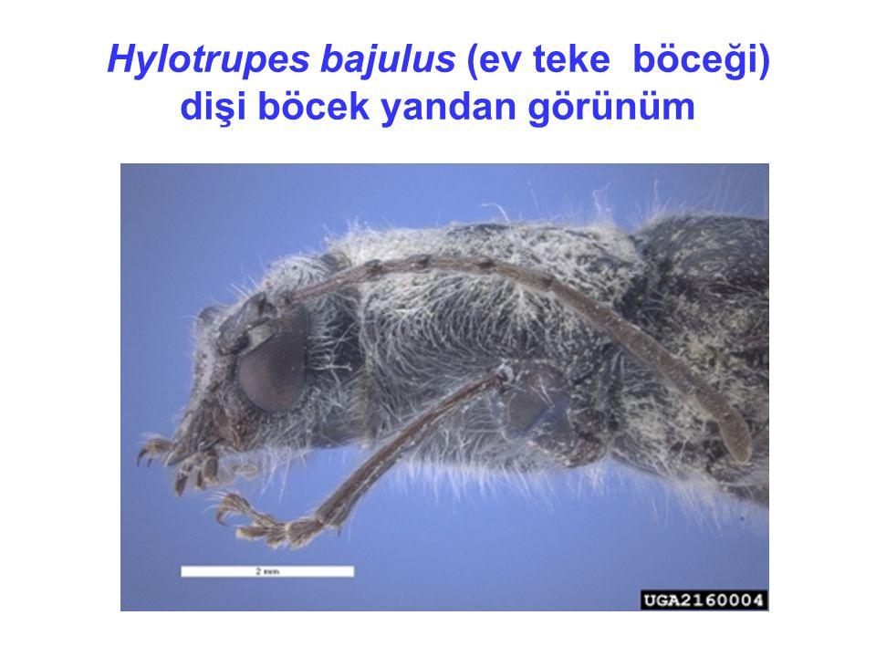 Hylotrupes bajulus (ev teke böceği) dişi böcek yandan görünüm