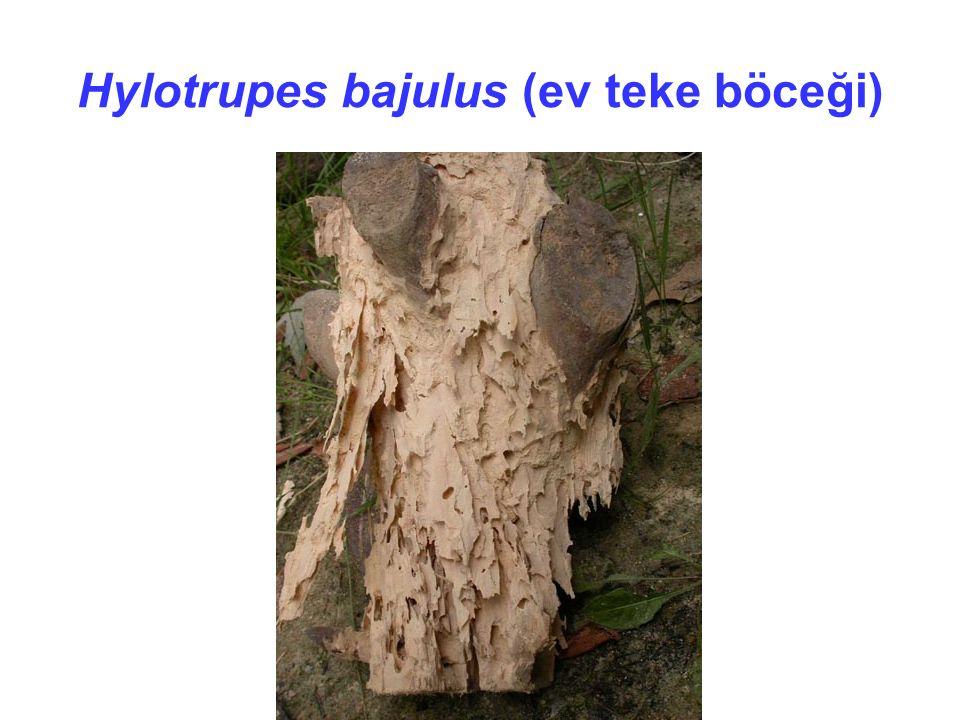Hylotrupes bajulus (ev teke böceği)