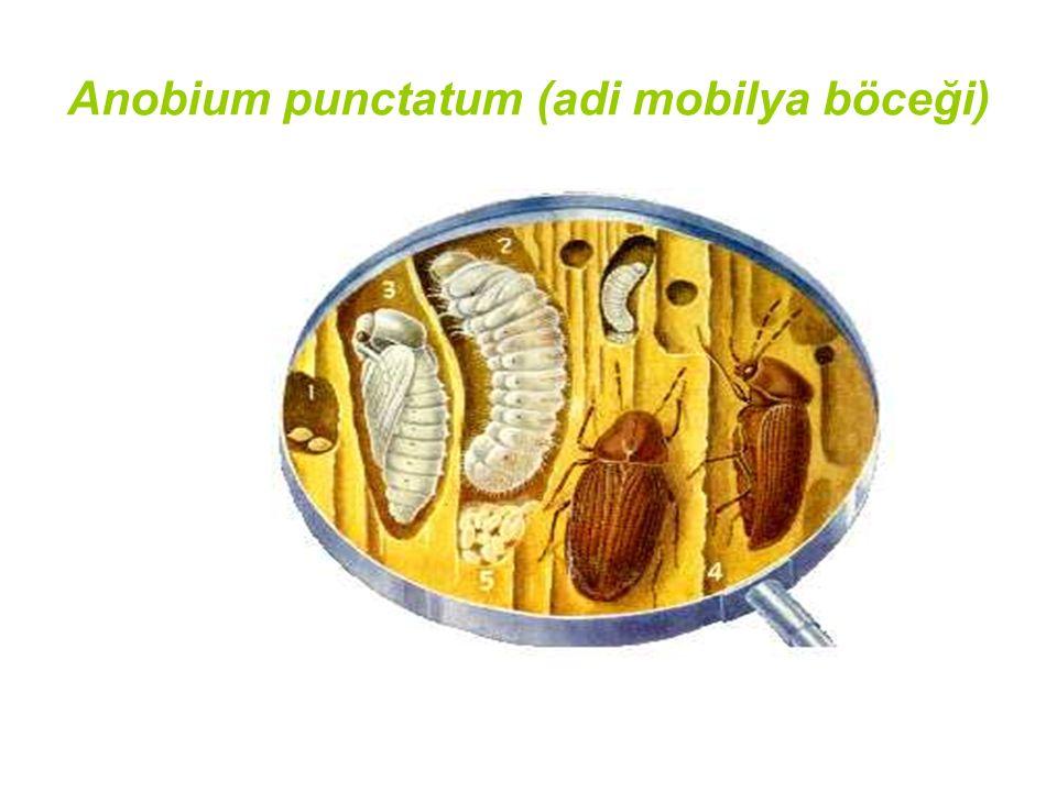 Anobium punctatum (adi mobilya böceği)