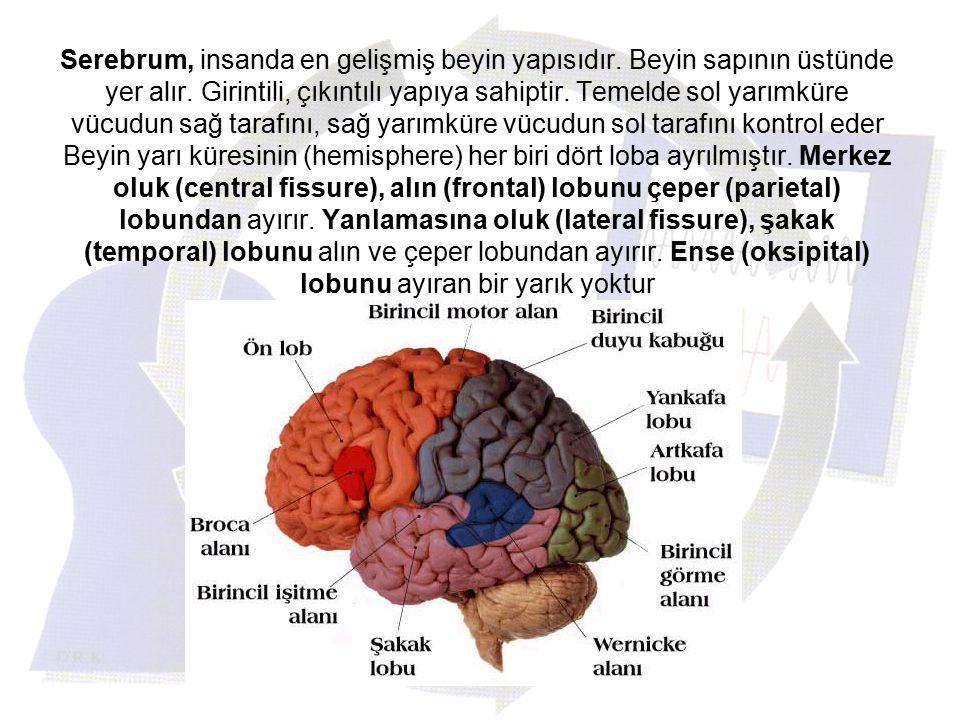 Serebrum, insanda en gelişmiş beyin yapısıdır