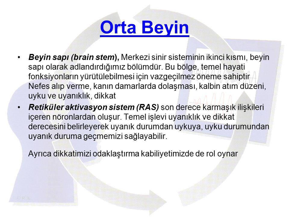Orta Beyin
