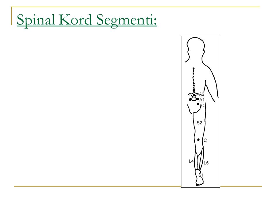 Spinal Kord Segmenti: