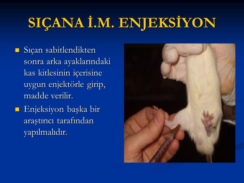 SIÇANA İ.M. ENJEKSİYON Sıçan sabitlendikten sonra arka ayaklarındaki kas kitlesinin içerisine uygun enjektörle girip, madde verilir.