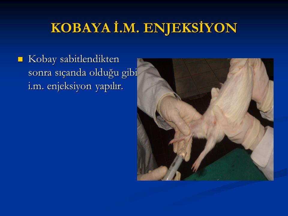 KOBAYA İ.M. ENJEKSİYON Kobay sabitlendikten sonra sıçanda olduğu gibi i.m. enjeksiyon yapılır.