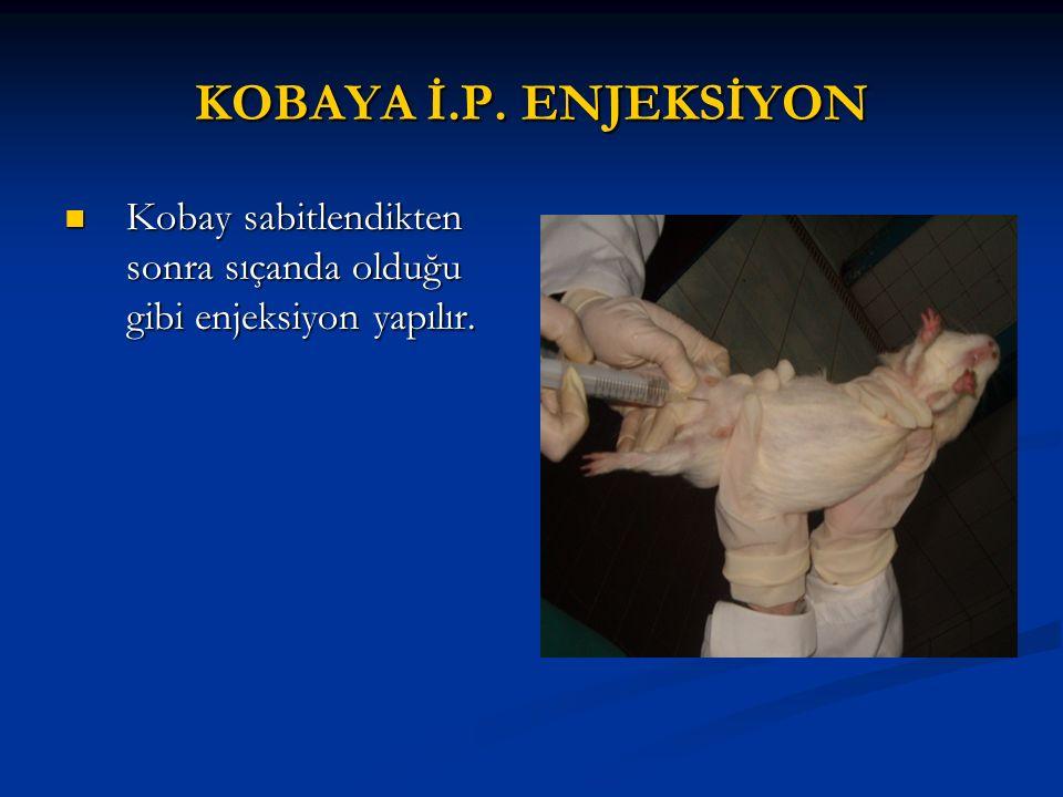 KOBAYA İ.P. ENJEKSİYON Kobay sabitlendikten sonra sıçanda olduğu gibi enjeksiyon yapılır.