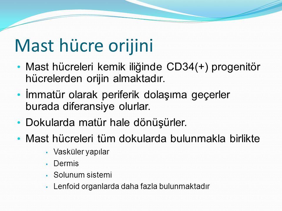 Mast hücre orijini Mast hücreleri kemik iliğinde CD34(+) progenitör hücrelerden orijin almaktadır.