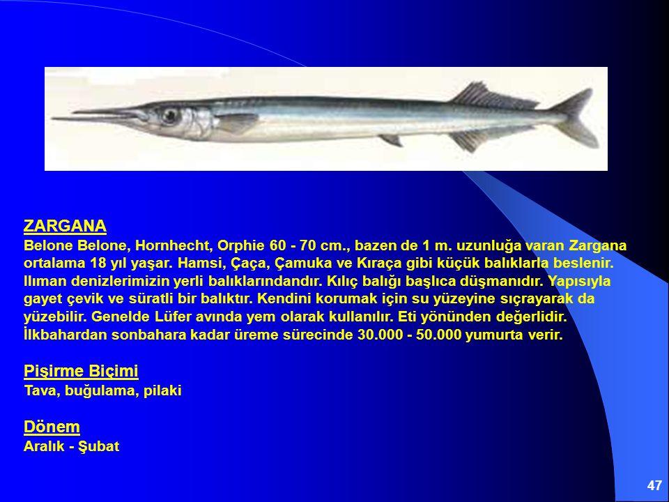 ZARGANA Belone Belone, Hornhecht, Orphie 60 - 70 cm. , bazen de 1 m