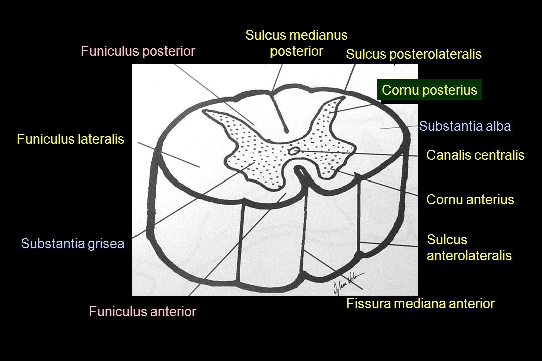 Sulcus posterolateralis