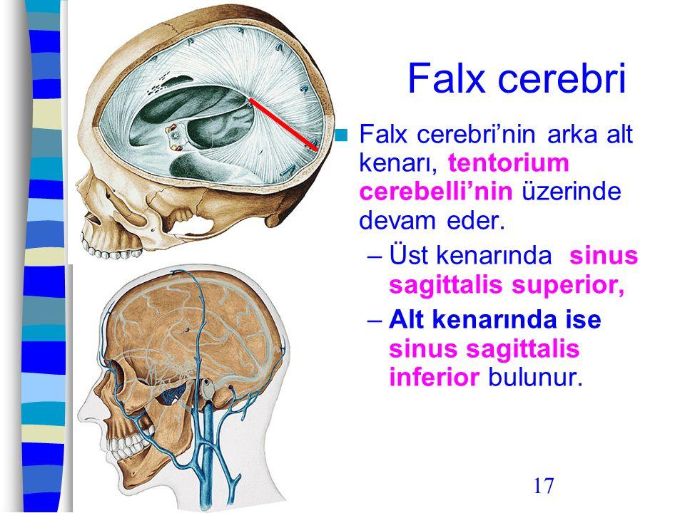 Falx cerebri Falx cerebri'nin arka alt kenarı, tentorium cerebelli'nin üzerinde devam eder. Üst kenarında sinus sagittalis superior,