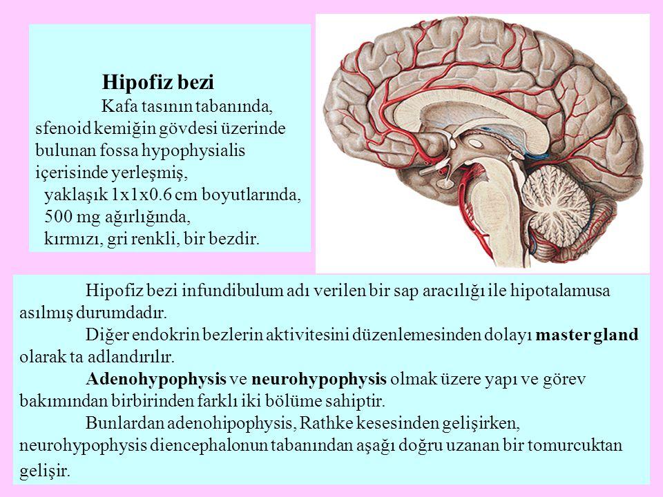Hipofiz bezi Kafa tasının tabanında, sfenoid kemiğin gövdesi üzerinde bulunan fossa hypophysialis içerisinde yerleşmiş,