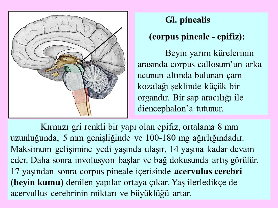 Gl. pinealis (corpus pineale - epifiz):