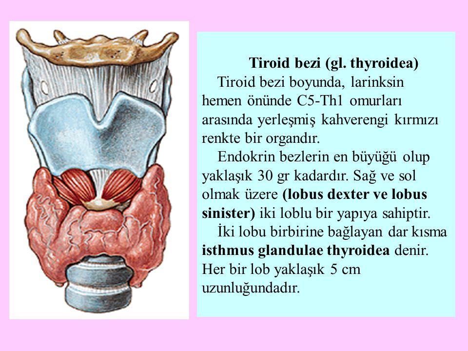 Tiroid bezi (gl. thyroidea)