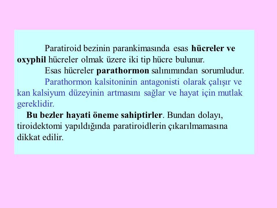 Paratiroid bezinin parankimasında esas hücreler ve oxyphil hücreler olmak üzere iki tip hücre bulunur.