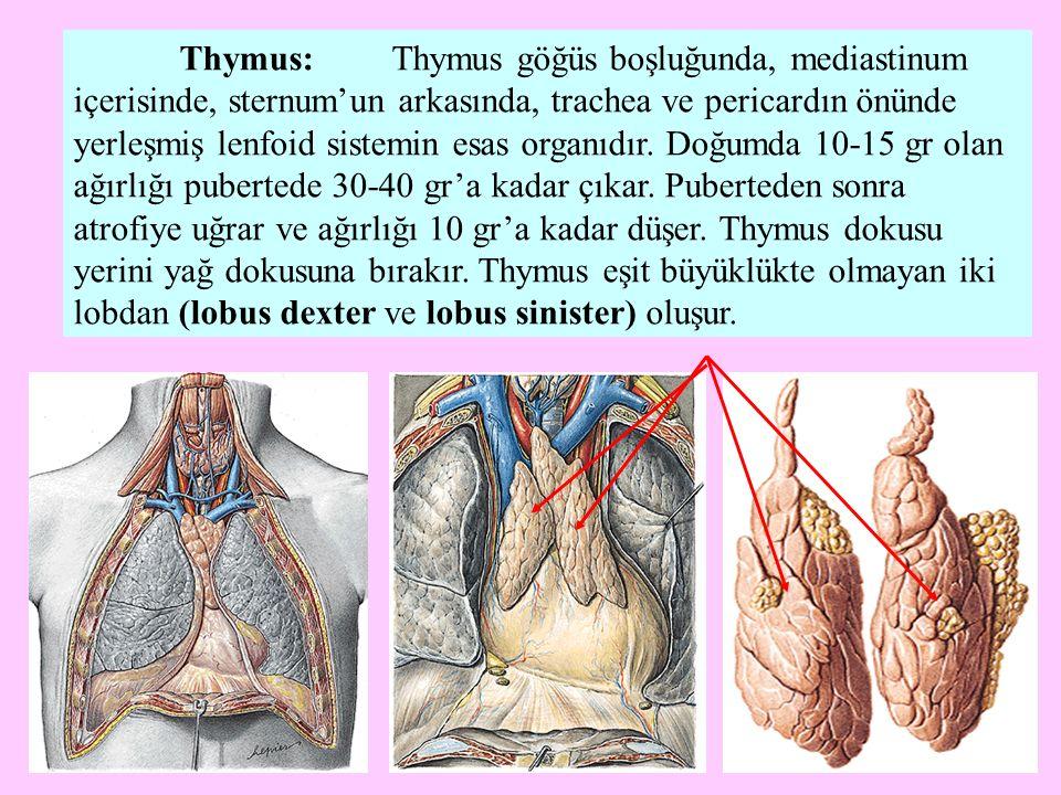 Thymus: Thymus göğüs boşluğunda, mediastinum içerisinde, sternum'un arkasında, trachea ve pericardın önünde yerleşmiş lenfoid sistemin esas organıdır.