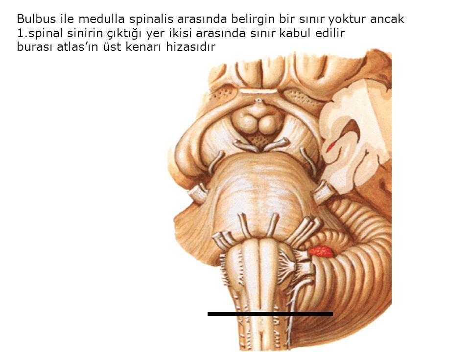 Bulbus ile medulla spinalis arasında belirgin bir sınır yoktur ancak