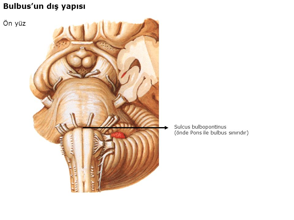 Bulbus'un dış yapısı Ön yüz Sulcus bulbopontinus
