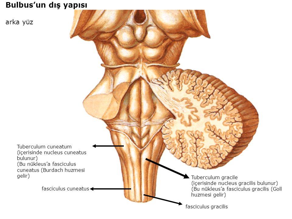 Bulbus'un dış yapısı arka yüz Tuberculum cuneatum