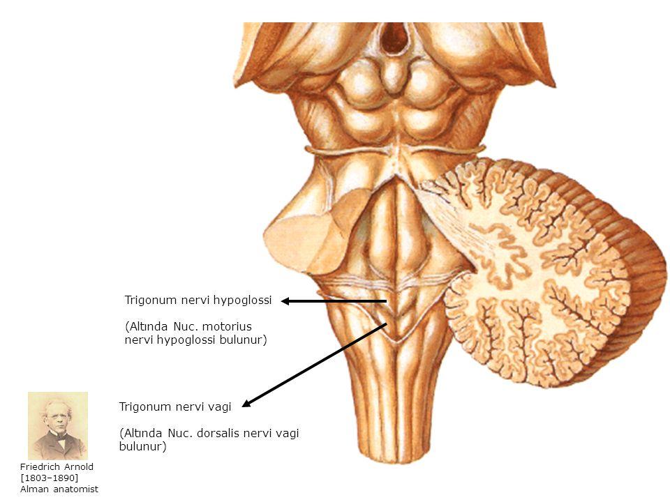 Trigonum nervi hypoglossi