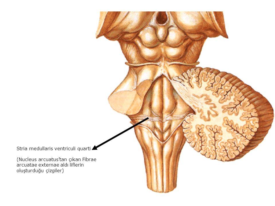 Stria medullaris ventriculi quarti