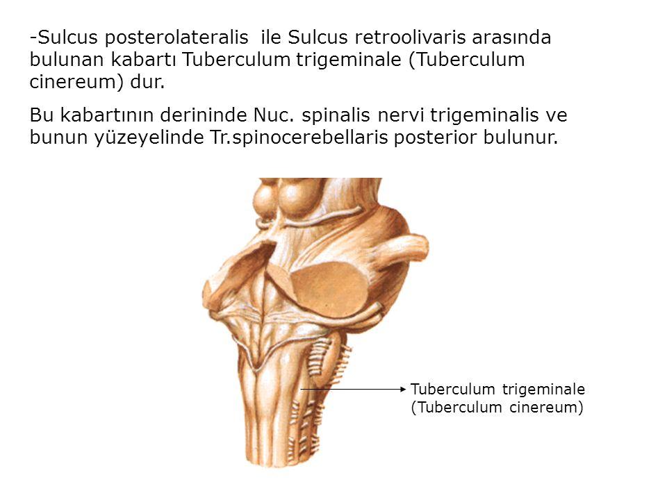 -Sulcus posterolateralis ile Sulcus retroolivaris arasında bulunan kabartı Tuberculum trigeminale (Tuberculum cinereum) dur.