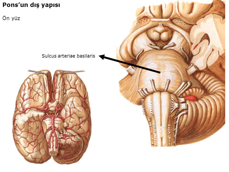 Pons'un dış yapısı Ön yüz Sulcus arteriae basilaris