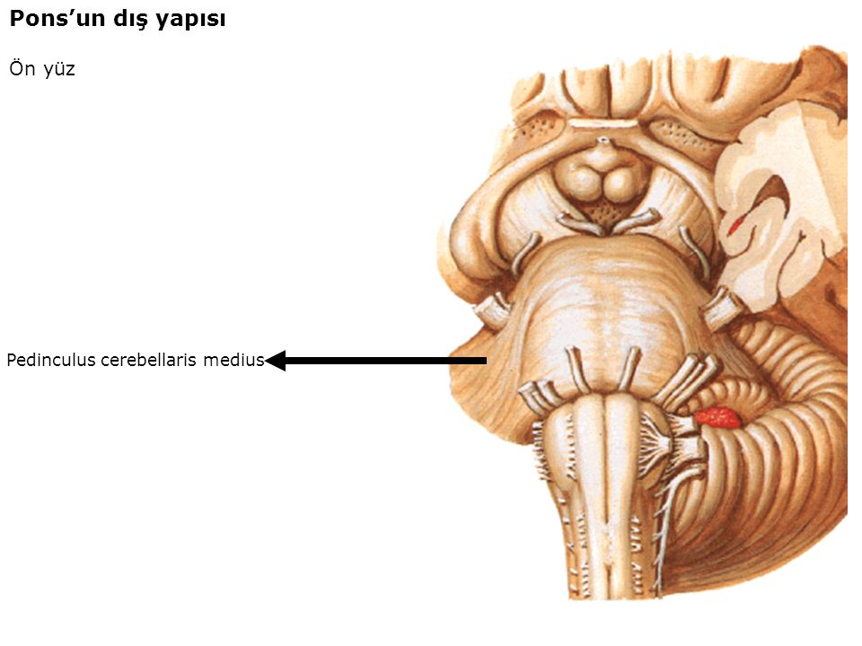 Pons'un dış yapısı Ön yüz Pedinculus cerebellaris medius