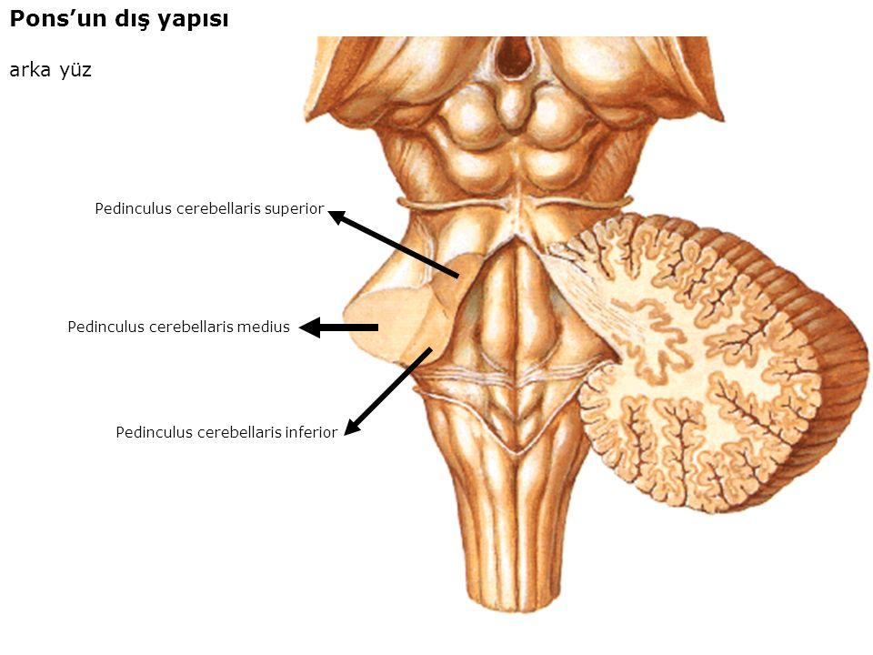 Pons'un dış yapısı arka yüz Pedinculus cerebellaris superior