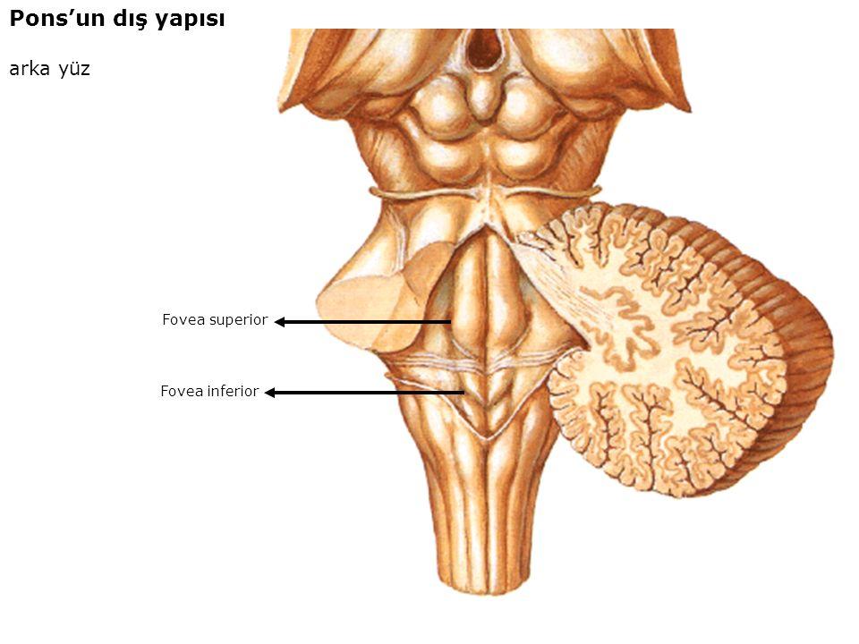 Pons'un dış yapısı arka yüz Fovea superior Fovea inferior