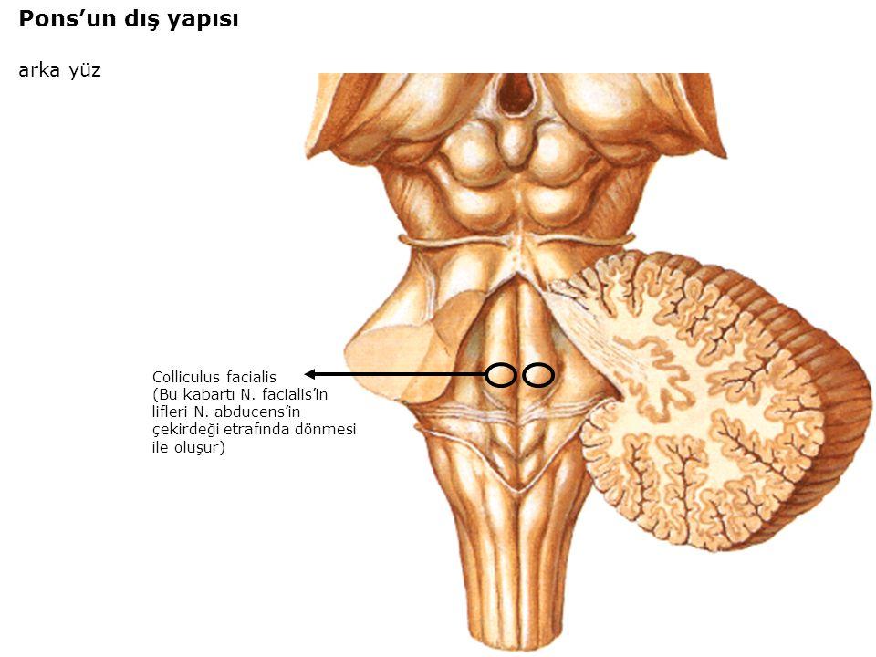 Pons'un dış yapısı arka yüz Colliculus facialis