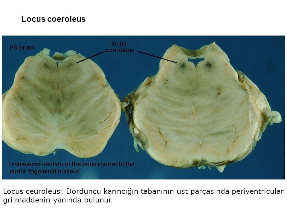 Locus coeroleus Locus ceuroleus: Dördüncü karıncığın tabanının üst parçasında periventricular gri maddenin yanında bulunur.