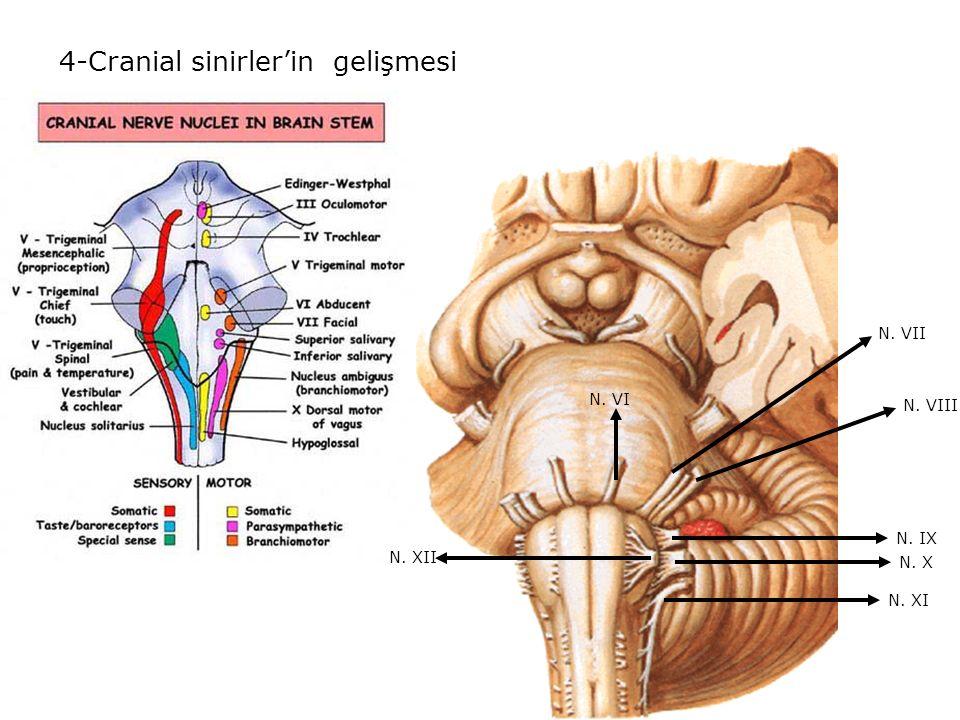4-Cranial sinirler'in gelişmesi