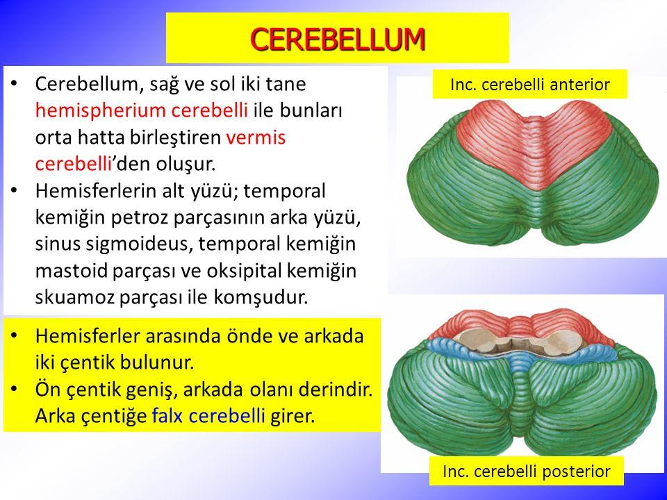 CEREBELLUM Cerebellum, sağ ve sol iki tane hemispherium cerebelli ile bunları orta hatta birleştiren vermis cerebelli'den oluşur.