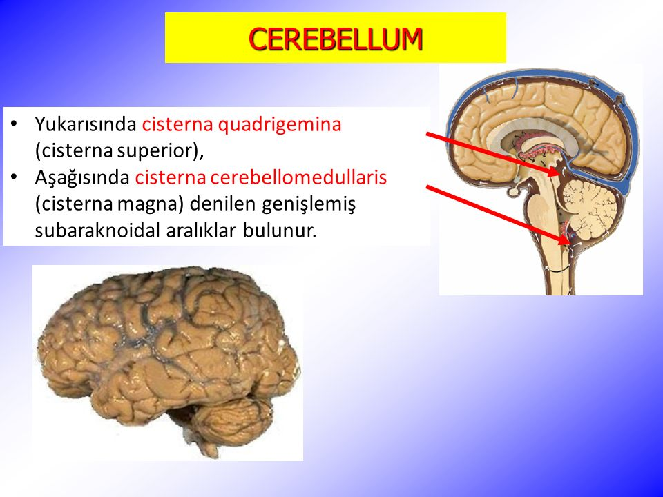 CEREBELLUM Yukarısında cisterna quadrigemina (cisterna superior),