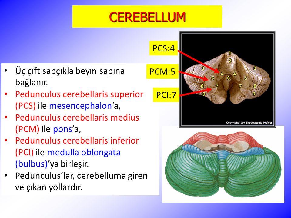 CEREBELLUM PCS:4 Üç çift sapçıkla beyin sapına bağlanır. PCM:5