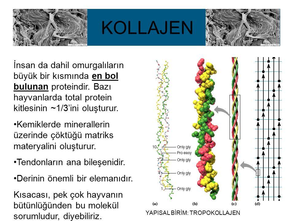 KOLLAJEN İnsan da dahil omurgalıların büyük bir kısmında en bol bulunan proteindir. Bazı hayvanlarda total protein kitlesinin ~1/3'ini oluşturur.