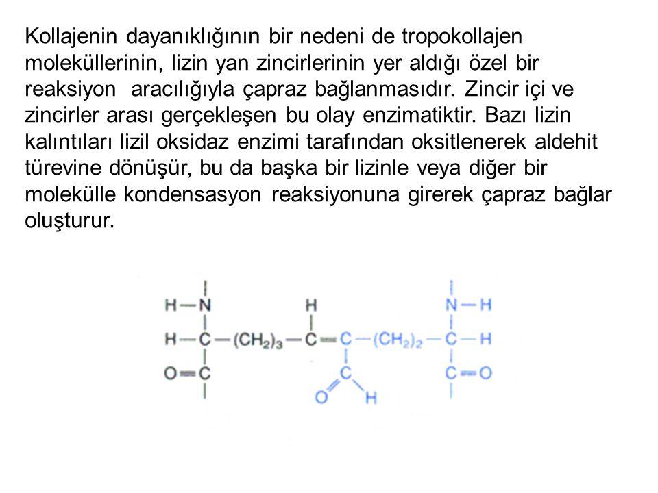 Kollajenin dayanıklığının bir nedeni de tropokollajen moleküllerinin, lizin yan zincirlerinin yer aldığı özel bir reaksiyon aracılığıyla çapraz bağlanmasıdır.