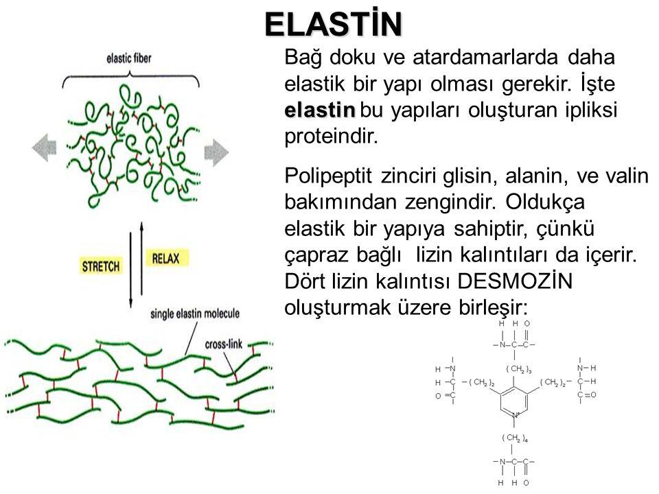 ELASTİN Bağ doku ve atardamarlarda daha elastik bir yapı olması gerekir. İşte elastin bu yapıları oluşturan ipliksi proteindir.