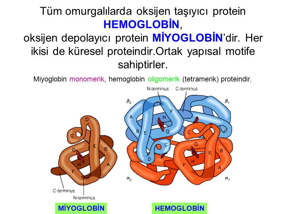 Tüm omurgalılarda oksijen taşıyıcı protein HEMOGLOBİN, oksijen depolayıcı protein MİYOGLOBİN'dir. Her ikisi de küresel proteindir.Ortak yapısal motife sahiptirler.