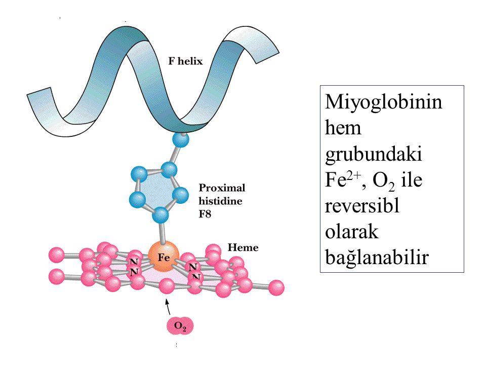 Miyoglobinin hem grubundaki Fe2+, O2 ile reversibl olarak bağlanabilir